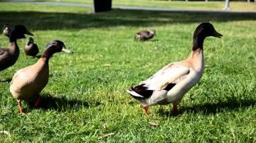ducks walking